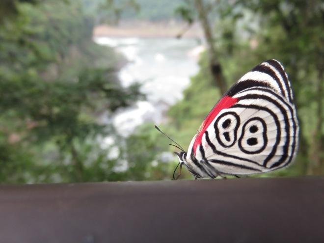 Borboletinha fofa nas Cataratas do Iguaçu - lado Argentino.